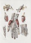 Planche 158 - Capsules et gaines synoviales du membre thoracique - Traité complet de l'anatomie de l [...]