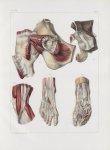 Planche 159 - Bourses synoviales du membre abdominal - Traité complet de l'anatomie de l'homme, par  [...]