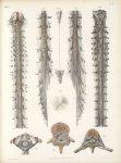 Planche 10 - Étude du ligament dentelé - Traité complet de l'anatomie de l'homme, par les Drs Bourge [...]