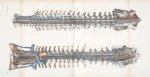 Planche 11 - Vue d'ensemble du système veineux rachidien. Grandeur naturelle - Traité complet de l'a [...]