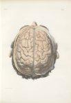 Planche 15 - Surface extérieure de l'encéphale - Cerveau vu par le plan supérieur ou syncipital, et  [...]