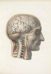 Planche 17 - Surface extérieure de l'encéphale - Encéphale et portion cervicale de la moelle épinièr [...]