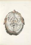 Planche 20 - Coupes horizontales du cerveau - Coupe horizontale correspondant environ au milieu de l [...]