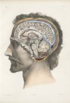 Planche 27 - Coupe de l'encéphale sur le plan médian - Traité complet de l'anatomie de l'homme, par  [...]