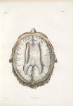 Planche 31 - Névrologie - Structure d'une des portions du corps calleux - Traité complet de l'anatom [...]