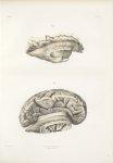 Planche 33 - Névrologie - Traité complet de l'anatomie de l'homme, par les Drs Bourgery et Claude Be [...]