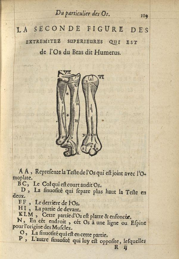 La seconde Figure des extremitez superieures qui est de l'os du bras dit humerus - L'Oeconomie chiru [...] -  - med05207x0146