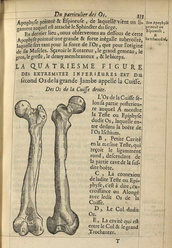 La quatriesme Figure des extremitez inferieures est du second os de la grande jambe appellé la cuiss [...] -  - med05207x0162