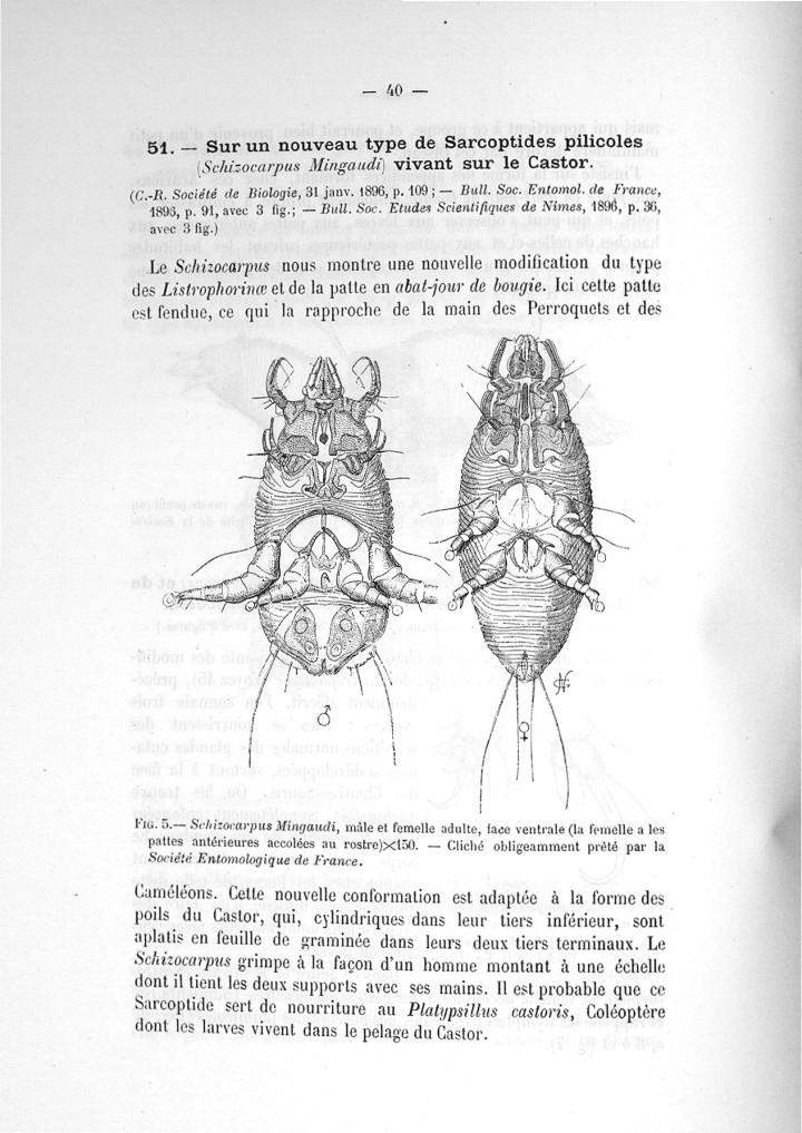 Fig. 5. Schizocarpus Mingaudi, mâle et femelle adulte -  - med110133x045x19x0042