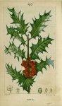 Planche 197. Houx - Flore médicale / Vol. IV - Botanique. Plantes. 19e siècle (France) - med37591x04x0123