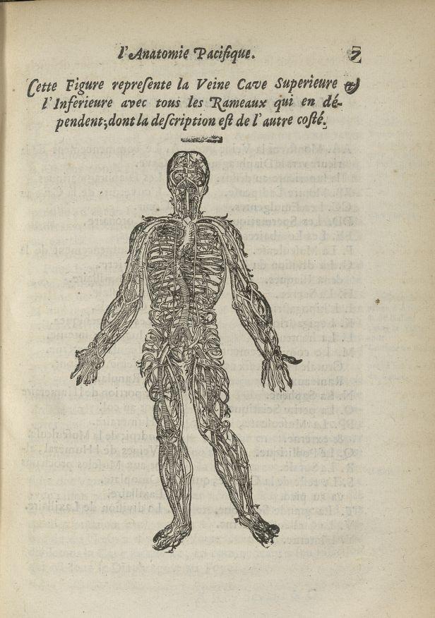 Cette figure represente la veine cave superieure & l'inferieure avec tous les rameaux qui en dépende [...] - Anatomie. Sang (vaisseaux). 17e siècle - med5207Ax0163