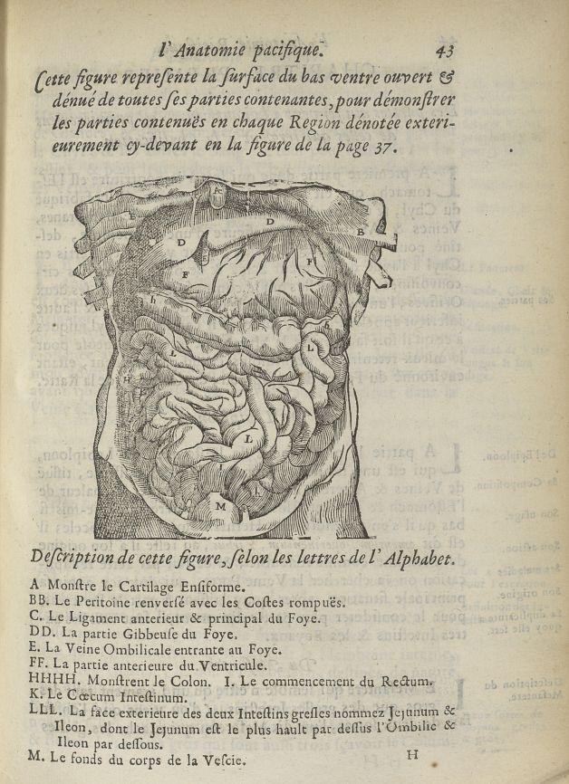 Cette figure represente la surface du bas ventre ouvert & dénué de toutes ses parties contenantes - Anatomie. Abdomen. 17e siècle - med5207Ax0231