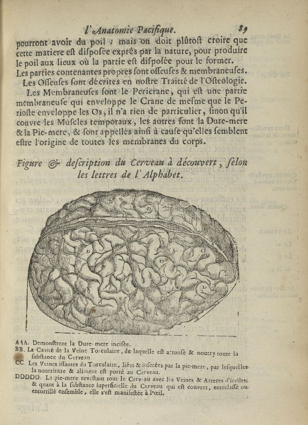 Figure & description du cerveau à découvert - L'Oeconomie chirurgicale, pour le restablissement des  [...] - Anatomie. Cerveau. 17e siècle - med5207Ax0281