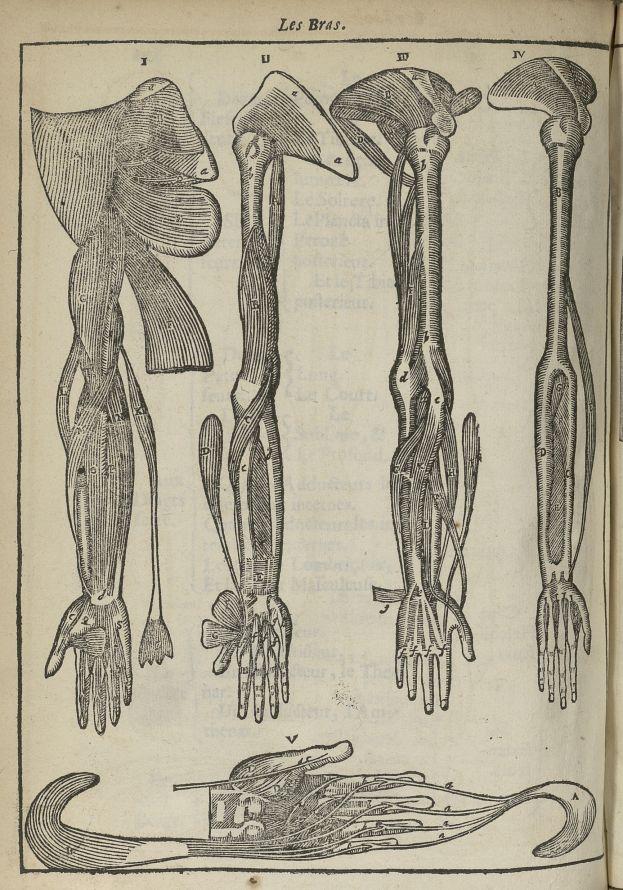 Les bras - L'Oeconomie chirurgicale, pour le restablissement des parties molles du corps humain. Con [...] - Anatomie. Myologie. Membres supérieurs. Muscles. 17e siècle - med5207Ax0354