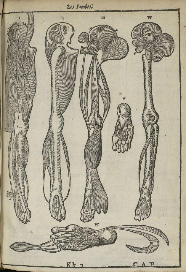 Les iambes - L'Oeconomie chirurgicale, pour le restablissement des parties molles du corps humain. C [...] - Anatomie. Myologie. Membres inférieurs. Muscles. 17e siècle - med5207Ax0355
