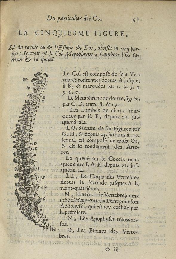 La cinquiesme Figure, est du rachis ou de l'espine du dos, divisée en cinq parties; sçavoir est le col metaphrene, lumbes, l'os sacrum & la queuë - Anatomie. Squelette (os). Colonne vertébrale. 17e siècle - med5207Ax0463