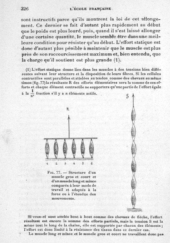 Fig. 77. Structure d'un muscle gros et court et d'un muscle long et mince comparée à leur mode de tr [...] -  - med65254x0326