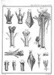 Fig. 23 et 24. Larynx de la grande chauve-souris-vampir à nez composé / Fig. 25. Larynx du canard /  [...]