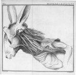 La clavicule du lapin, en place, & les muscles qui s'y attachent & qui l'environnent - Mémoire sur l [...]