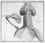 Fig. 1. La clavicule du chat, & les muscles qui s'y attachent & qui l'environnent / Fig. 2. La clavi [...]