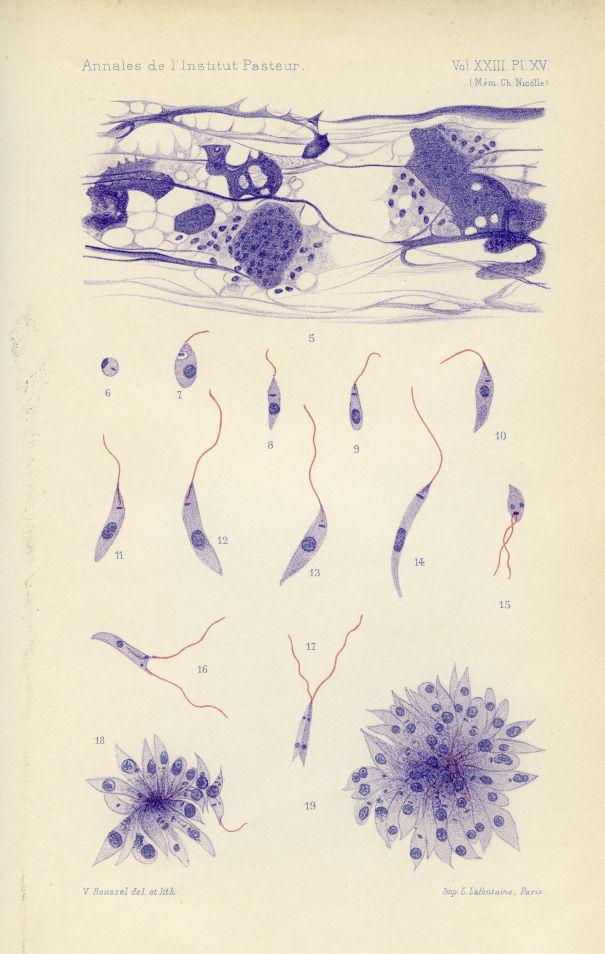 Annales de l'Institut Pasteur Vol XXIII Pl. XXIII Pl.XV (Mém. Ch Nicolle) - Le Kala Azar infantile - [...] -  - medannee190940x0074