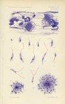 Annales de l'Institut Pasteur Vol XXIII Pl. XXIII Pl.XV (Mém. Ch Nicolle) - Le Kala Azar infantile - [...]
