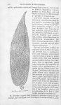Artante elongata - Histoire naturelle des drogues simples, ou Cours d'histoire naturelle professé à  [...]